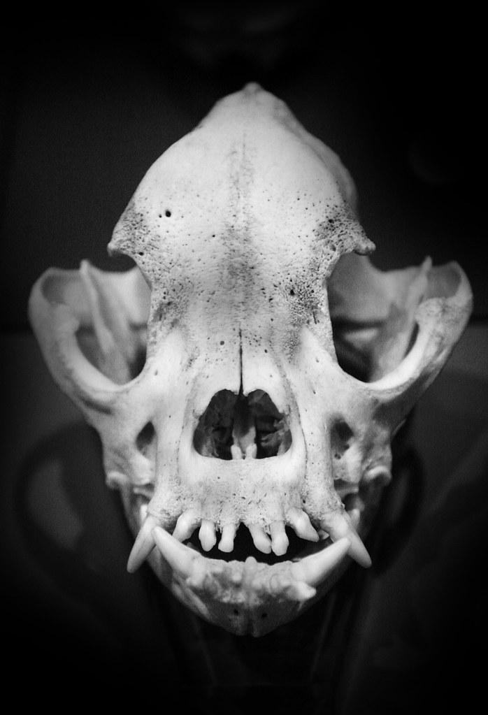 Animal Primate Skull