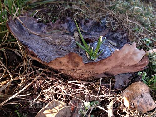 fungus b1