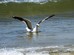 gaivotinha
