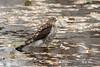 Épervier brun juvénile / Sharp-shinned Hawk
