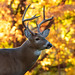 White Tailed Deer with fall colors! by Corey Hayes