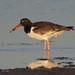 American Oystercatcher por Birdernaturalist