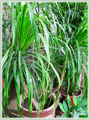 Dracaena marginata (Madagascar Dragon Tree) with numerous heads, seen at a garden nursery, Nov 6 2011
