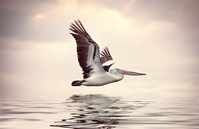 Pelican in flight, Perth , Western Australia