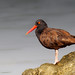 Shiny Oystercatcher by Patricia Ware