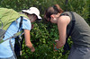Discovering Labrador Tea plants. by U.S. Fish and Wildlife Service - Midwest Region