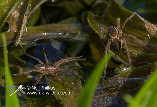 Fen raft spider male trying to court female