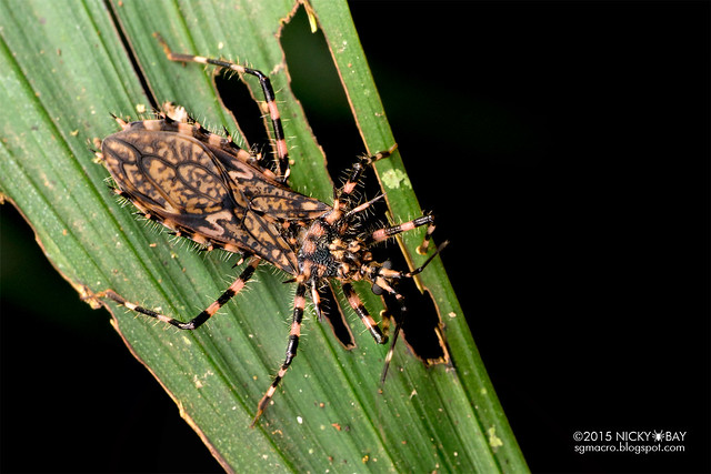 Assassin bug (Reduviidae) - DSC_9041