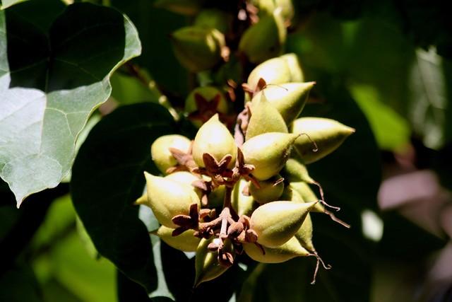 Paulownia tomentosa (= P. imperialis) 22590019012_ed0288d442_z