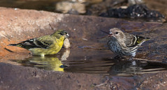 Lesser Goldfinch and Pine Siskin