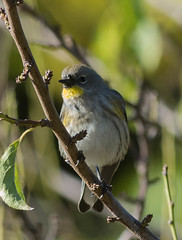 Yellow-rumped Warbler,  Audubon's  (Setophaga coronata auduboni)