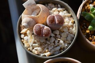 """DSC_2095 Lithops julii ssp.fulleri """"Kikushougyoku""""  リトープス 菊章玉"""