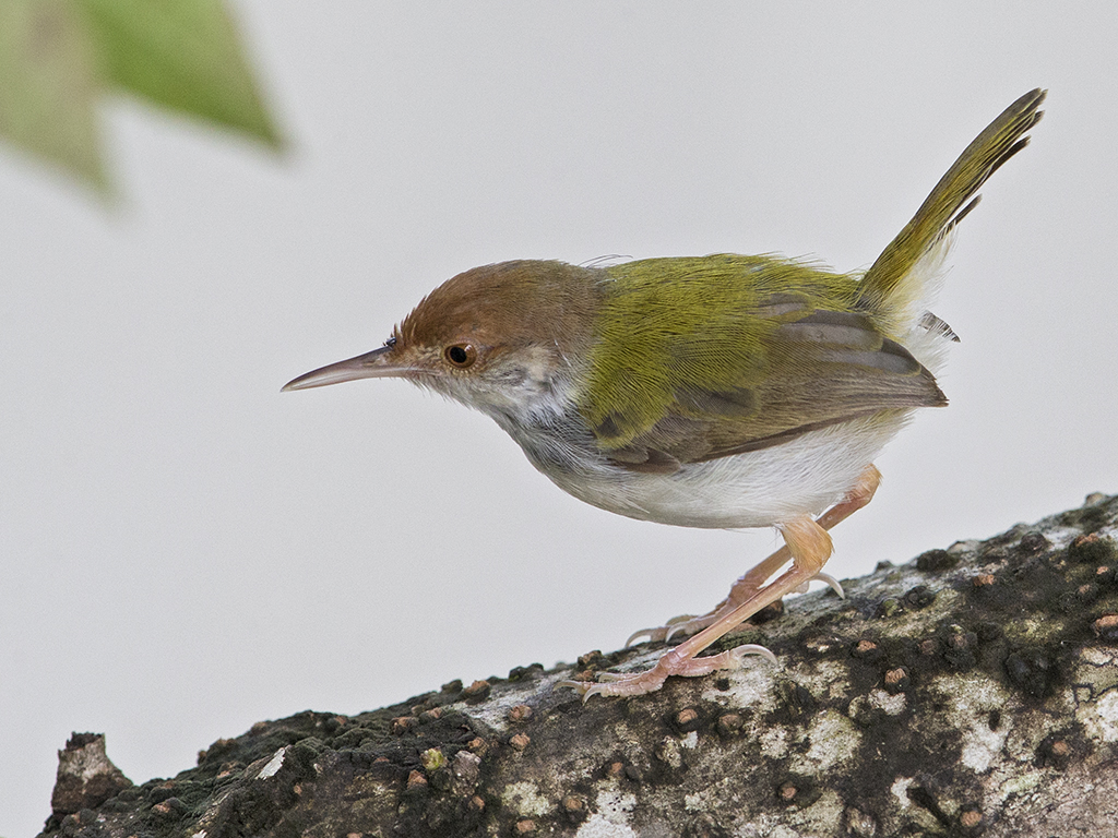 Common Tailorbird    Sri Lanka