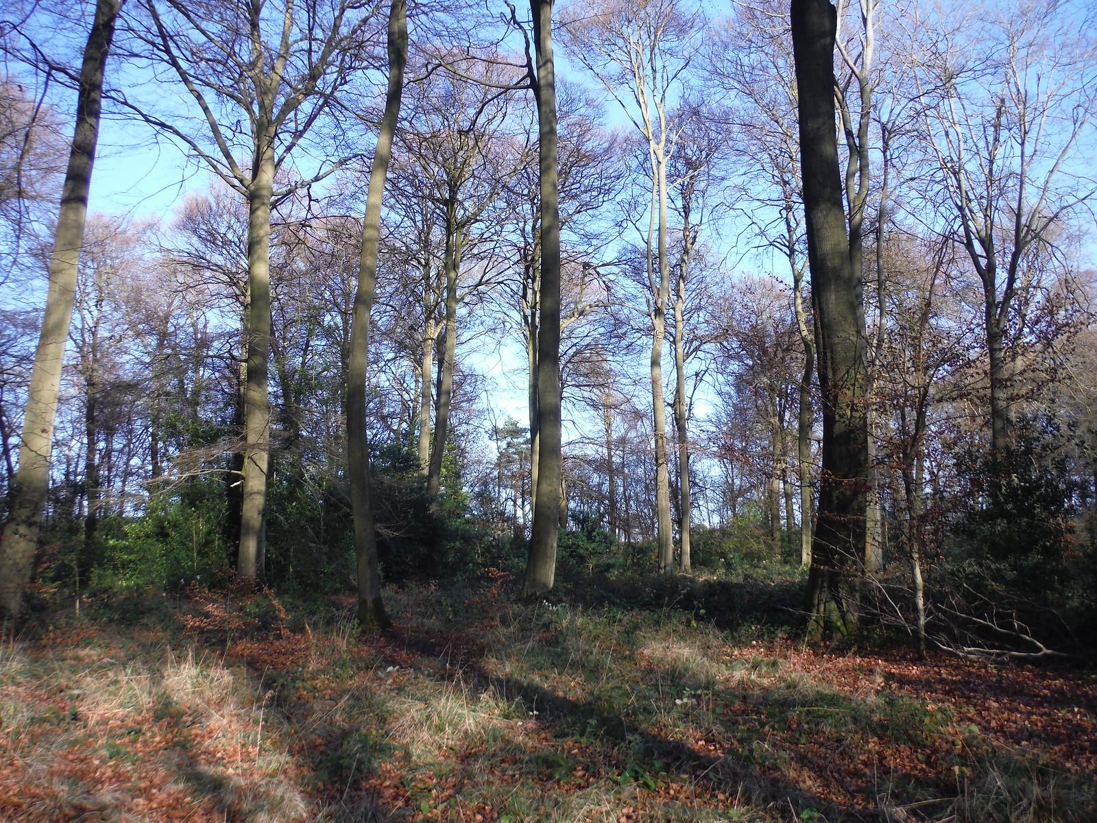 A wintry Great Widmoor Wood, near Wendover SWC Walk 140a Wendover to Great Missenden