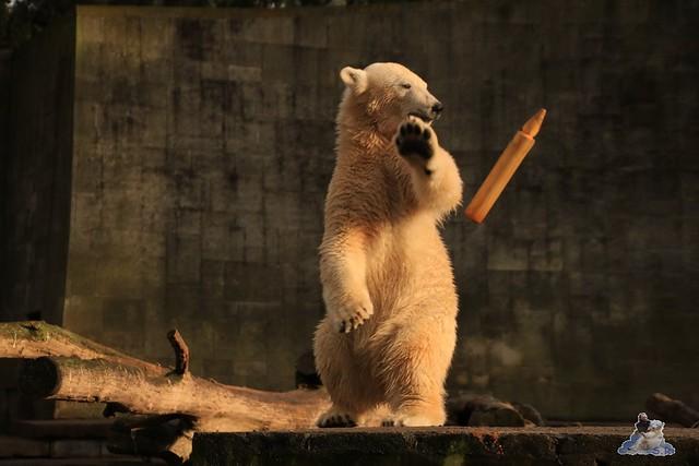Eisbär Fiete im Zoo Rostock 12.12.2015   108
