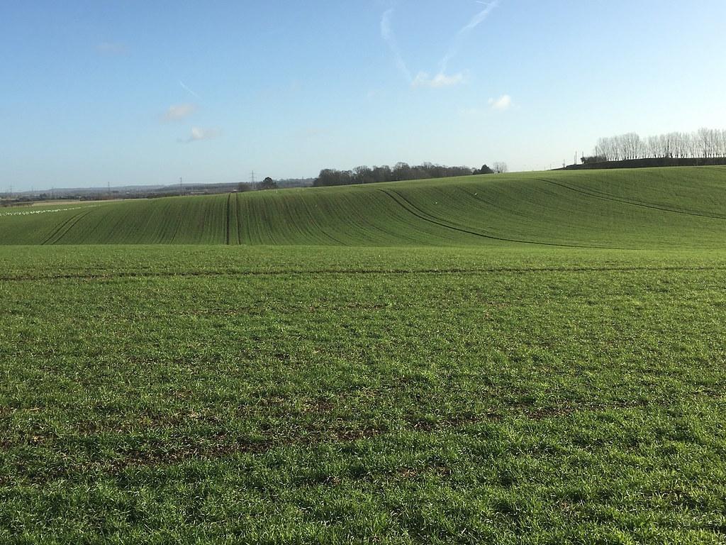 Winter wheat Farningham to Sole Street walk