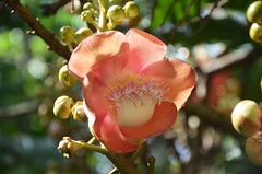 DSC_6468  flower of cannonball tree (Couroupita guianensis), Flecker Botanic Garden, Cairns, Queensland