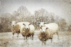 Sheep Gathering In Snow