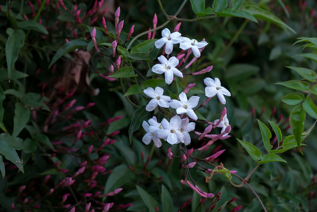 Pink Jasmine, Alameda, California, USA