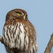 Northern Pygmy-Owl by T0nyJ0yce