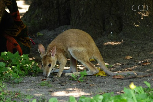 Cute Kangaroo kid Monty was raised by keepers!