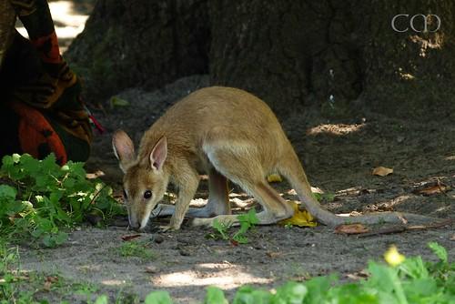 Cute Kangaroo kid Monty was raised by keepers!