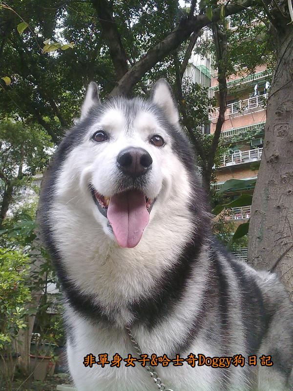 2011哈士奇doggy外出照片02