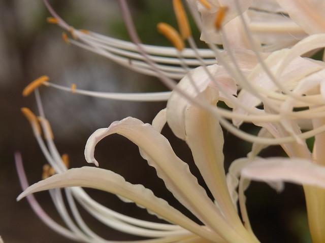 White spider lilies 白い彼岸花