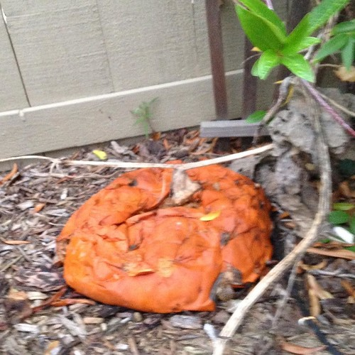 Pumpkin failure. Guess it is just an orange squash after all.