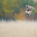 Short-eared Owl (Asio flammeus) by Images from the Wild