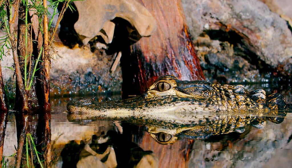 Alligator_4