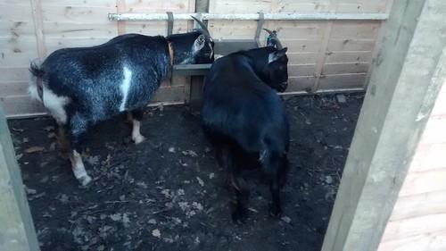 goats Nov 15 25
