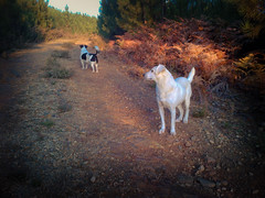 Smudge and Wriggles on a walk