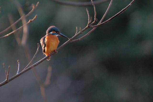 野鳥 [舞岡公園] : カワセミちゃん (3)