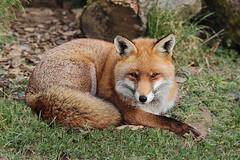 HolderRed Fox