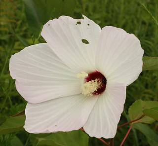2015-8-15. Rose Mallow blossom