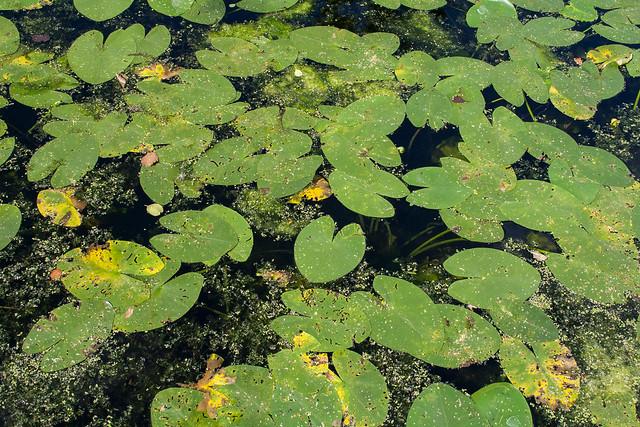Drottningholm Palace gardens lilypads