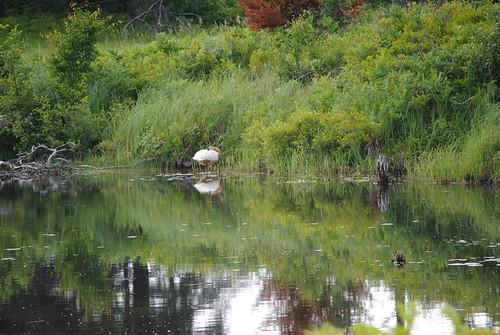 up swan michigan upperpeninsula wildliferefuge trumpeterswan seneynationalwildliferefuge