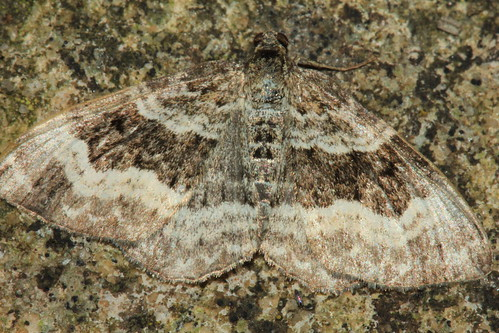 Common Carpet 2716