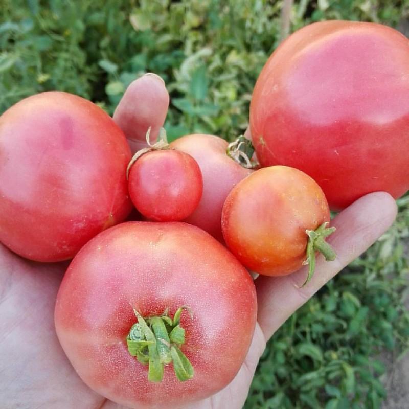 Un desastre las variedades de tomates este año, esto es lo único recolectado en 9 días #pueblo