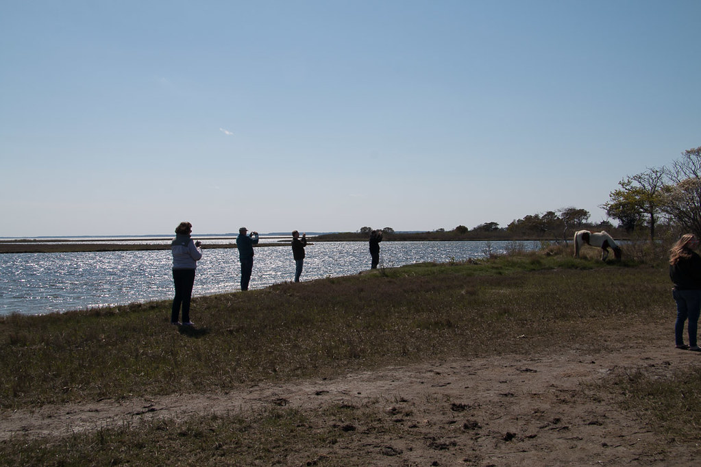 People taking photos of horses on Ferry Landing Trail at Assateague