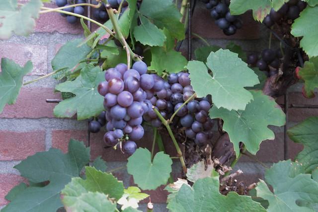 druivenoogst