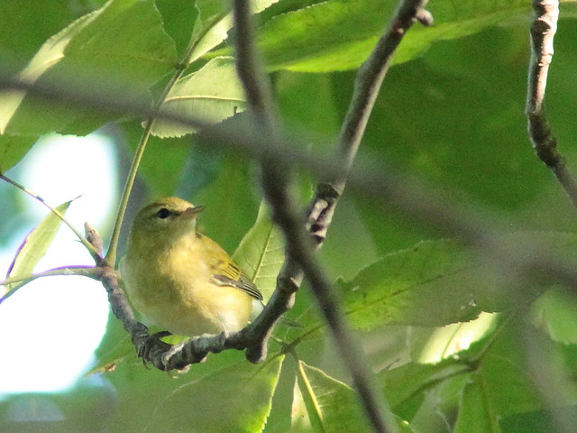 Tennessee Warbler 20150916