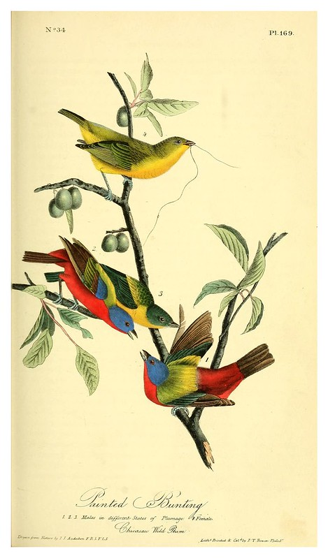 013- Verderones pintados-The birds of America…J.J. Audubon