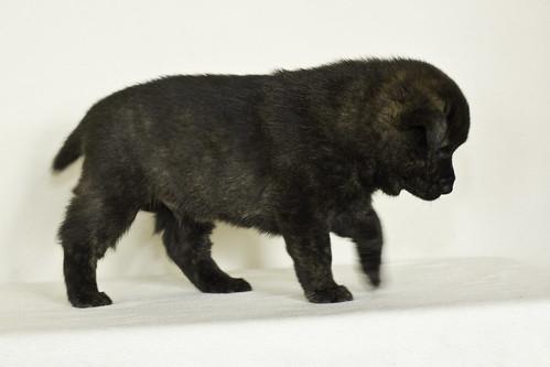 Nori-Litter3-Day33-Pup3(male)d