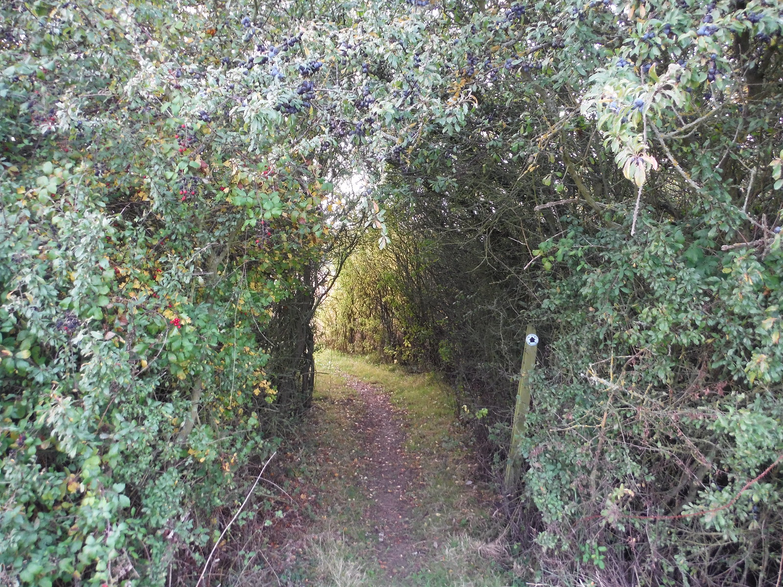 Path through Hedge SWC Walk 229 Leagrave to Harlington