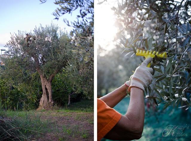 olive raccolta 2015