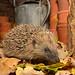 Our Garden Hedgehog by Kevin Keatley1