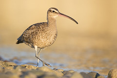 Tsawwassen Jetty Whimbrel