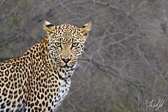 Leopard- Kruger National Park, South Africa